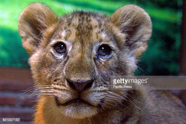 Taman Safari Indonesia II Prigen is quite proud of the successful breeding of Africa's unique wildlife Tillers lion who was born on 19 October...