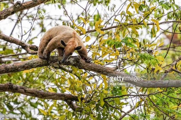 Tamandua or Lesser Anteater, Tamandua tetradactyla, feeding on ants up on a tree, Cano Belludo, Pacaya Samiria National Reserve, Ucayali River, Peru.