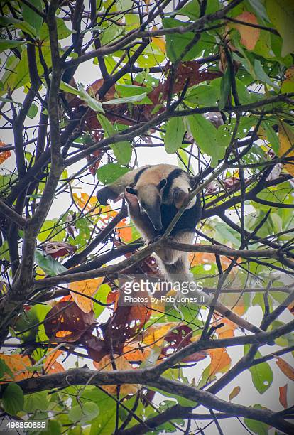 tamandua scratches her ear - tamandua anteater stock pictures, royalty-free photos & images