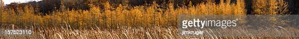 Tamarack glow in late Autumn.