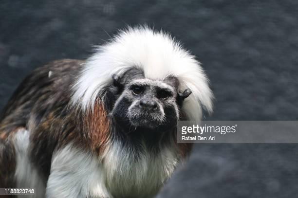 tamarin primate  looking at camera - rafael ben ari stock-fotos und bilder