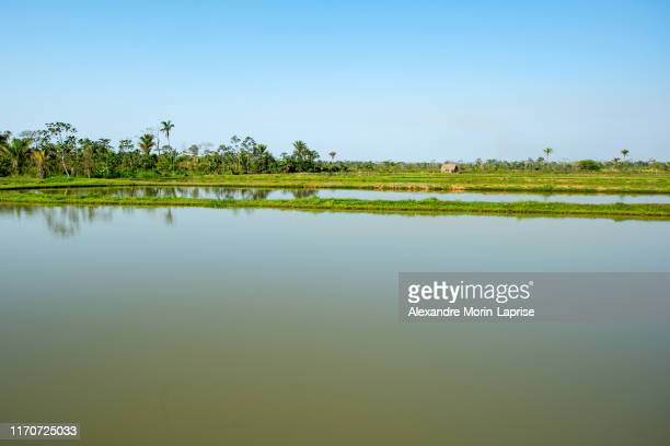 tambaqui and pacu (serrasalmus) fish ponds in yapacani, bolivia - 南アメリカ ストックフォトと画像