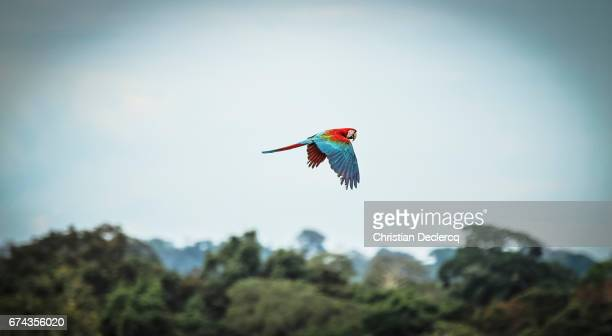 tambopata national reserve - madre de dios - peru - scarlet macaw stock pictures, royalty-free photos & images