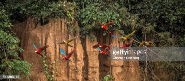 tambopata national reserve - madre de dios - peru - peruvian amazon stock pictures, royalty-free photos & images