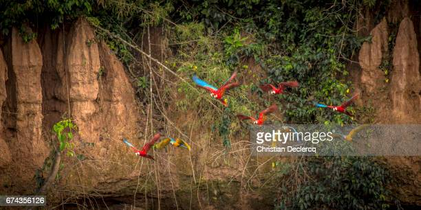 tambopata national reserve - madre de dios - peru - hoatzin stock pictures, royalty-free photos & images