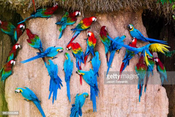 Red-and-Green Macaw, Scarlet Macaw, and Blue-and-Gold Macaws feeding on a clay lick where there are mineral deposits.