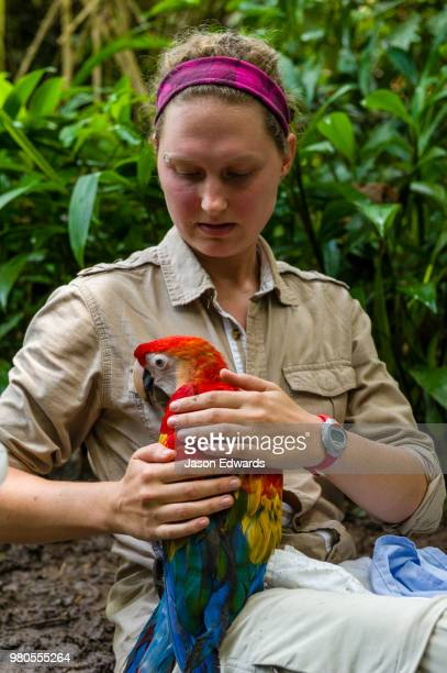 an ornithologist restrains a large scarlet macaw chick while recording growth data for a research project. - macaw stock pictures, royalty-free photos & images