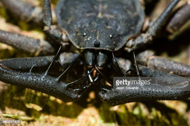 the menacing pedipalps of a tailless whip scorpion. - pedipalp stock photos and pictures