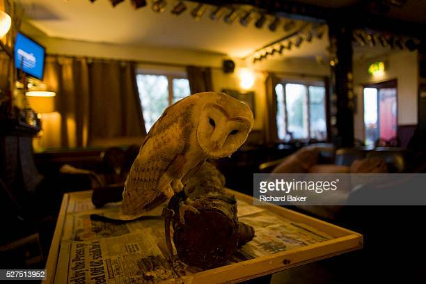 A tame Barn Owl rests on its perch at the quiet Lord Nelson pub in Reedham on the Norfolk Broads Rescued from a former owner and now taking up...