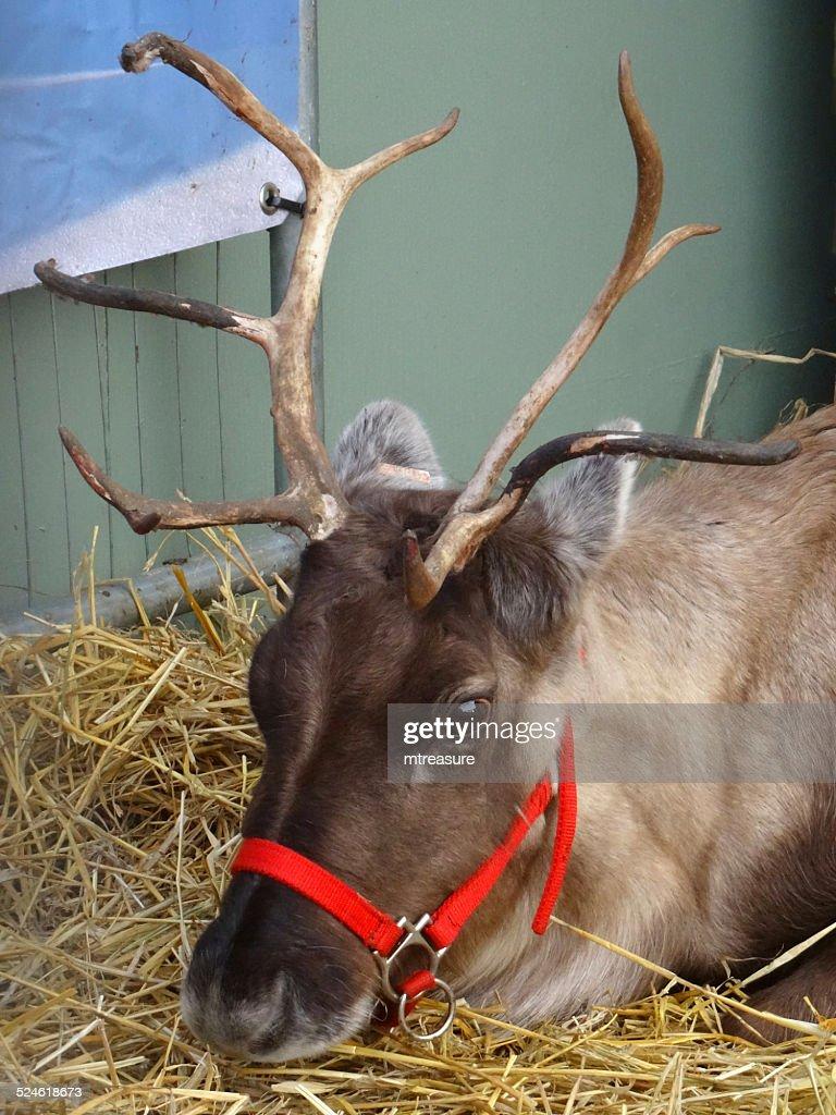 Zahm Weihnachten Rudolph Rentier Lange Antlers Deer Schlafen Im Heu ...