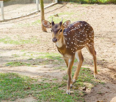 Tame deer animal walking around freely 1216529665