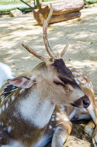 Tame deer animal walking around freely 1216529736