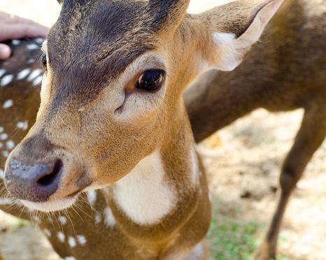 Tame deer animal walking around freely 1216529871