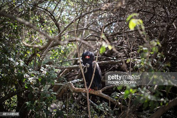 Tame eagle sits on a branch in the garden of Willem Boulanger, a Belgian living in Democratic Republic of Congo, on May 30, 2015 in Kolwezi....