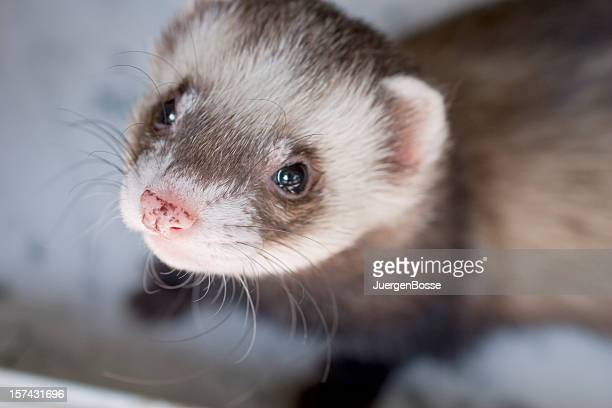 tame ferret - tame stock photos and pictures