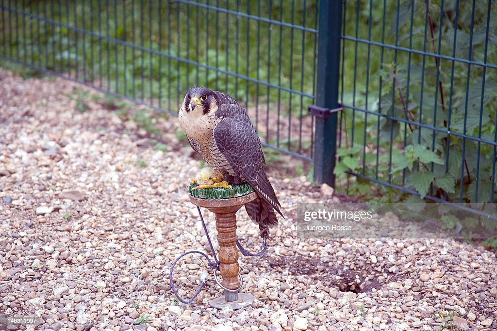Tame hawk at a falconry : Stock Photo