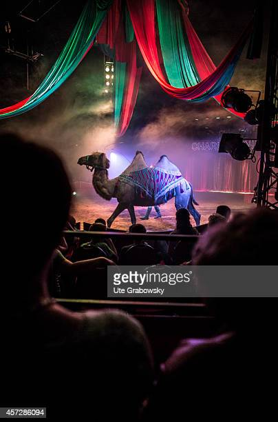 Tamed camels running in a circus ring during a circus performance on June 15 in Bonn Germany The use of animals for entertainment is criticized by...
