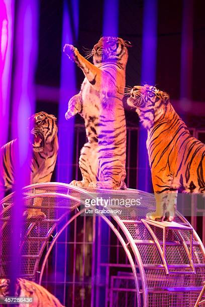 Tamed tigers performing tricks during a circus performance on June 15 in Bonn Germany The use of animals for entertainment is criticized by many...