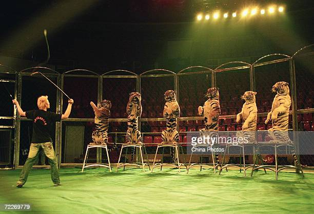 A tamer from the Hangzhou Sapphire Circus trains tigers during a rehearsal at the Wuhan Acrobatics Hall on October 25 2006 in Wuhan of Hubei Province...