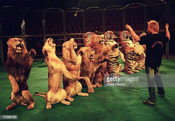 A tamer of Hangzhou Sapphire Circus trains tigers and lions during a rehearsal at the Wuhan Acrobatics Hall on October 25 2006 in Wuhan of Hubei...