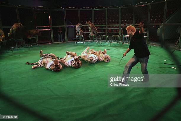 A tamer of Hangzhou Sapphire Circus trains tigers during a rehearsal at the Wuhan Acrobatics Hall on October 25 2006 in Wuhan of Hubei Province China...