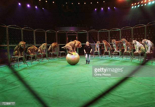 A tamer of the Hangzhou Sapphire Circus trains tigers and lions during a rehearsal at the Wuhan Acrobatics Hall on October 25 2006 in Wuhan of Hubei...