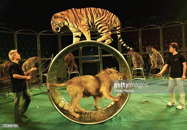 Tamers of the Hangzhou Sapphire Circus train tigers and lions during a rehearsal at the Wuhan Acrobatics Hall on October 25 2006 in Wuhan of Hubei...