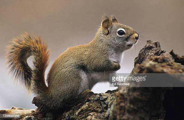 red squirrel, tamiasciurus hudsonicus. primarily an inhabitant of evergreen forests. noisy little squirrel, ratchet-like call.  michigan - american red squirrel stock photos and pictures