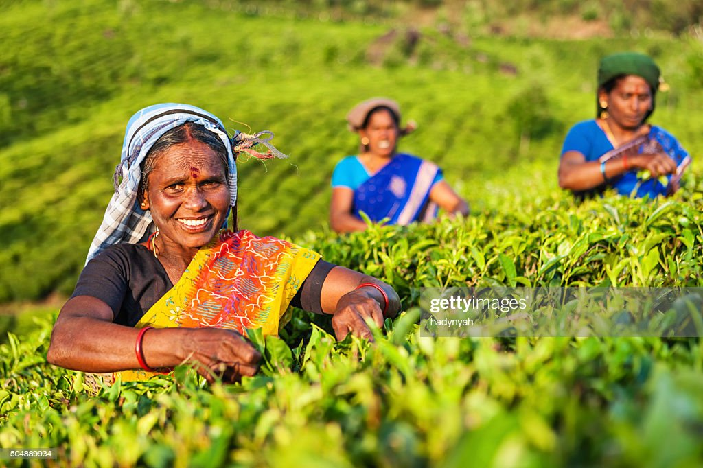 Tamil pickers collecting tea leaves on plantation, Southern India : Stock Photo