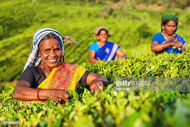 tamil pickers collecting tea leaves on plantation, southern india - tea leaves stock photos and pictures