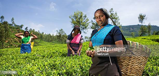 tamil pickers plucking tea leaves on plantation - sri lankan culture stock pictures, royalty-free photos & images