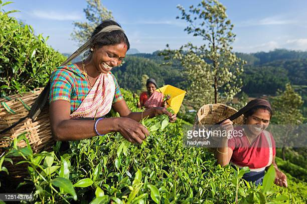 tamil pickers plucking tea leaves on plantation - tea leaves stock photos and pictures