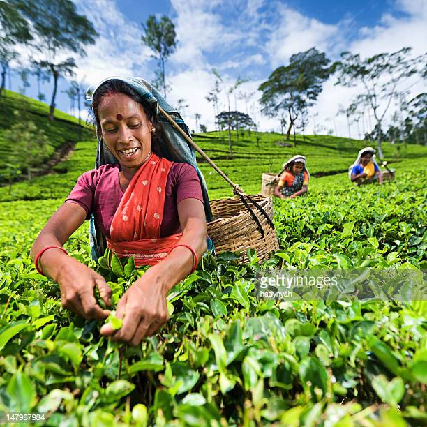 Tamil pickers plucking tea leaves on plantation
