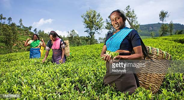 Tamil Musiker plucking Teeblätter auf plantation
