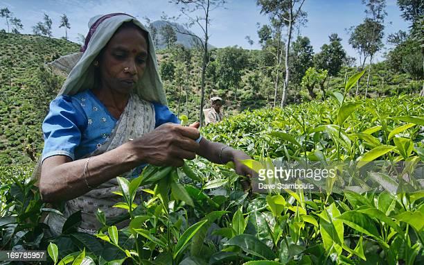 Tamil tea picker working on the plantation near Ella, Sri Lanka