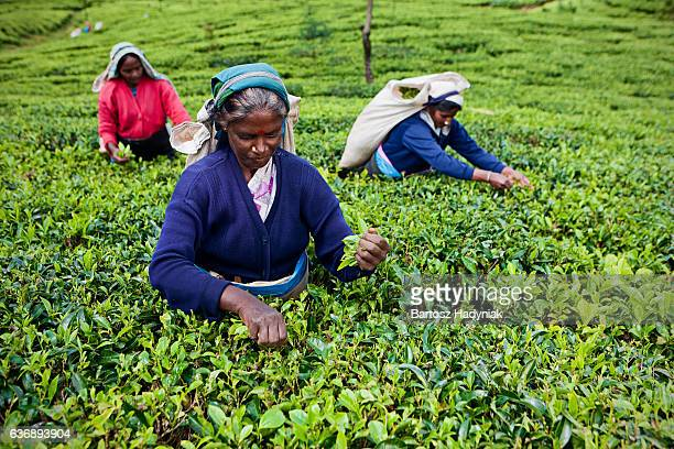 Tamil tea pickers collecting leaves on Ceylon