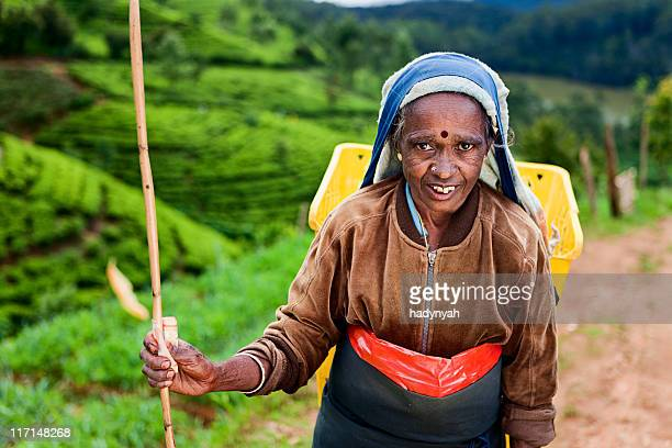 tamil tea pickers collecting leaves, sri lanka - sri lankan culture stock pictures, royalty-free photos & images