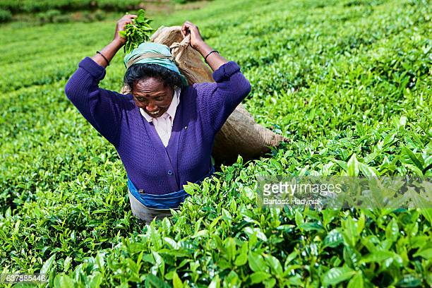 tamil tea pickers collecting leaves, sri lanka - tea tree oil stock photos and pictures