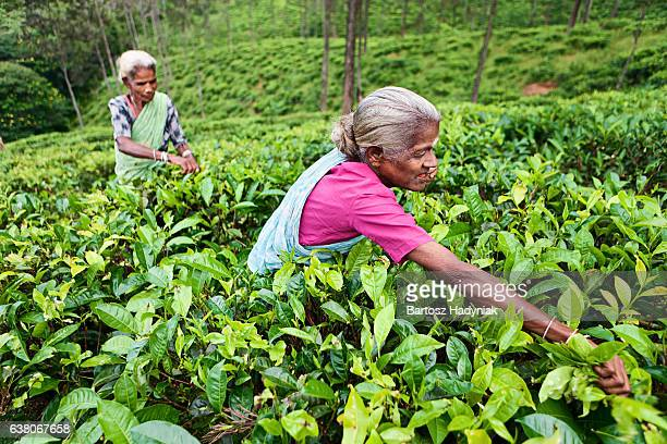 Tamil Tee Musiker Sie die Blätter, Sri Lanka