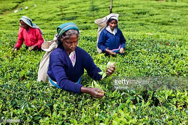 Tamil tea pickers, Sri Lanka