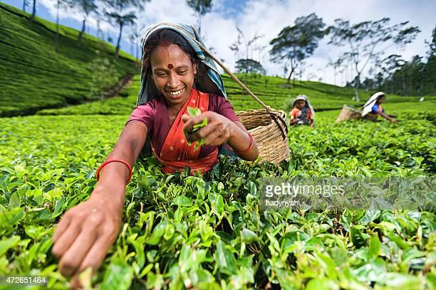 Tamil mujer recogida de hojas de té en plantation, Ceylon