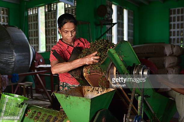 Tamil woman working in tea factory, Sri Lanka