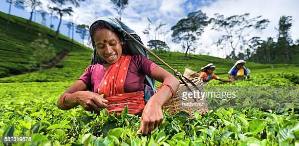 tamil women collecting leaves near nuwara eliya, ceylon - plantation stock pictures, royalty-free photos & images