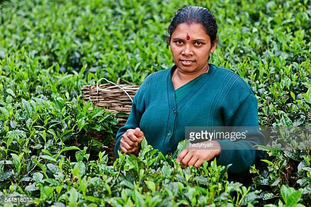 Tamil women collecting tea leaves near Nuwara Eliya, Sri Lanka