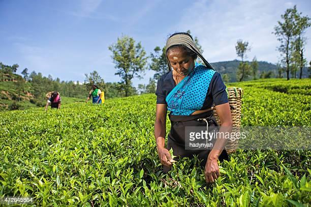 Tamil women collecting tea leaves on plantation, Ceylon
