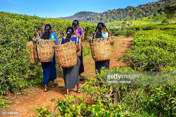 Tamil women crossing plantation near Nuwara Eliya, Ceylon