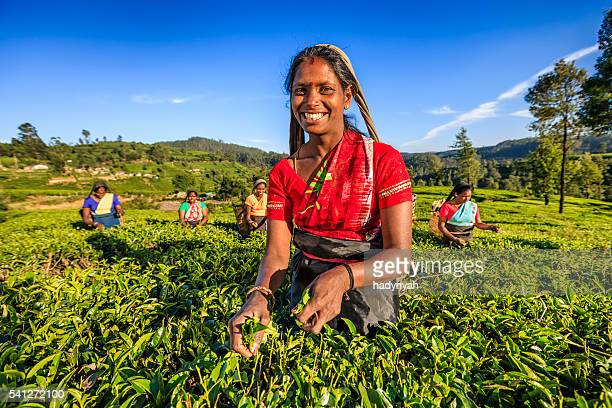 tamil women plucking tea leaves on plantation, ceylon - sri lankan culture stock pictures, royalty-free photos & images