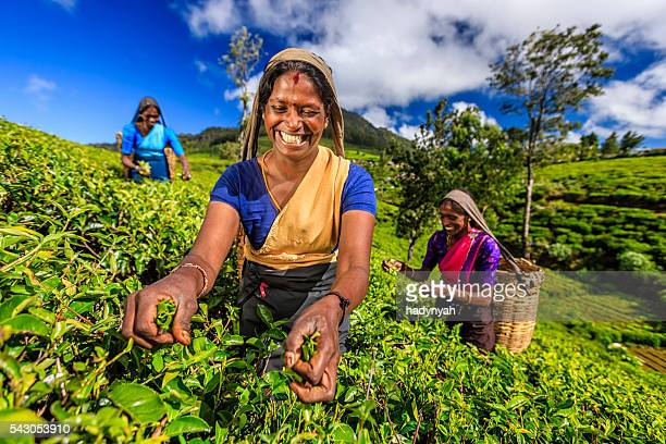 tamil women plucking tea leaves on plantation, ceylon - tea leaves stock photos and pictures