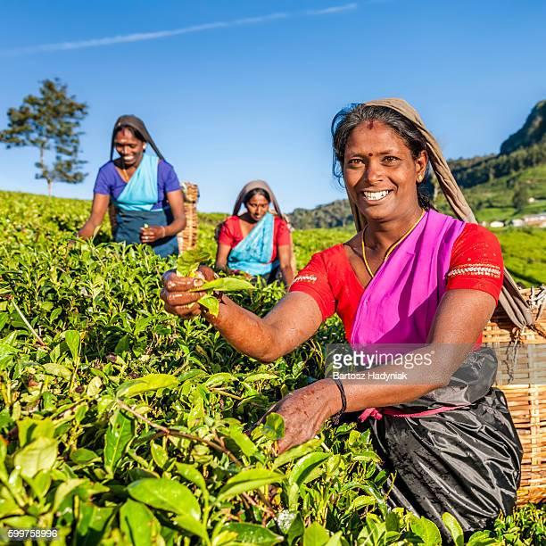tamil women plucking tea leaves on plantation, ceylon - tea tree oil stock photos and pictures