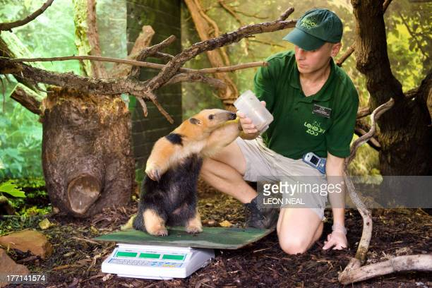 Tammy, a Tree anteater, is weighed during the London Zoo's annual weigh-in in London on August 21, 2013. The task involves weighing and measuring the...